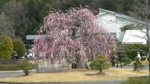 2008年3月13日の枝垂れ梅