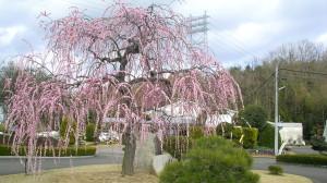 2005年3月18日の枝垂れ梅